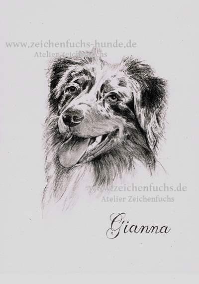 Bleistiftzeichnung des Australian Shepherds Gianna