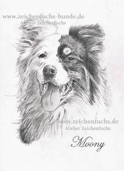 Bleistiftzeichnung des Australian Shepherds Moony