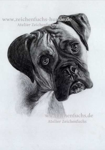 Boxer portraits des ateliers zeichenfuchs - Dessin chien boxer ...