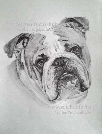 Bleistiftzeichnung einer Englischen Bulldogge