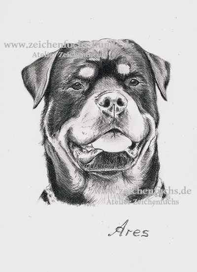 Bleistiftzeichnung eines Rottweilers
