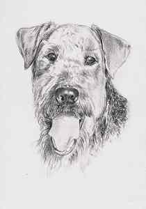 Bleistiftzeichnung vom Airedale Terrier