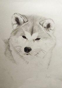 Bleistiftportrait von einem Akita