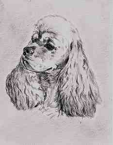 Bleistiftportrait American Cocker Spaniel