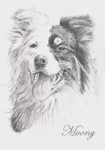 Bleistiftportrait eines Australian Shepherds