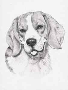 Bleistiftportrait von einem Beagle
