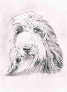 Bleistiftportrait eines Bearded Collies