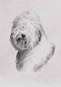 Bobtail - Bleistiftportrait