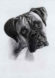 Bleistiftportrait eines Boxers
