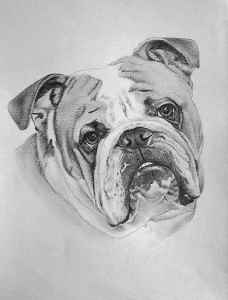 Englische Bulldogge - Bleistiftportrait