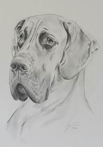 Deutsche Dogge - Bleistiftportrait