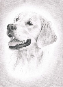 Golden Retriever Bleistiftportrait