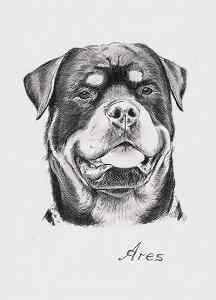 Bleistiftportrait vom Rottweiler