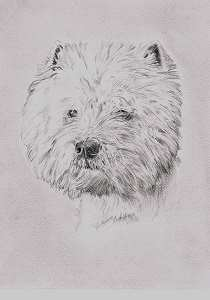 Bleistiftzeichnung West Highland White Terrier