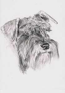 Bleistiftportrait von einem Zwergschnauzer