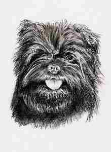 Kohleportrait eines Affenpinschers