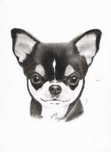 Kohleportrait eines Chihuahuas