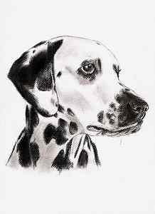 Kohlezeichnung von einem Dalmatiner