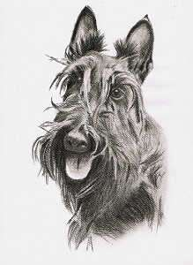 Kohleportrait vom Scottish Terrier