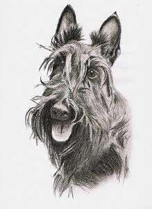 Kohleportrait vom Scottish Terrier