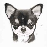 Hundeportrait Chihuahua